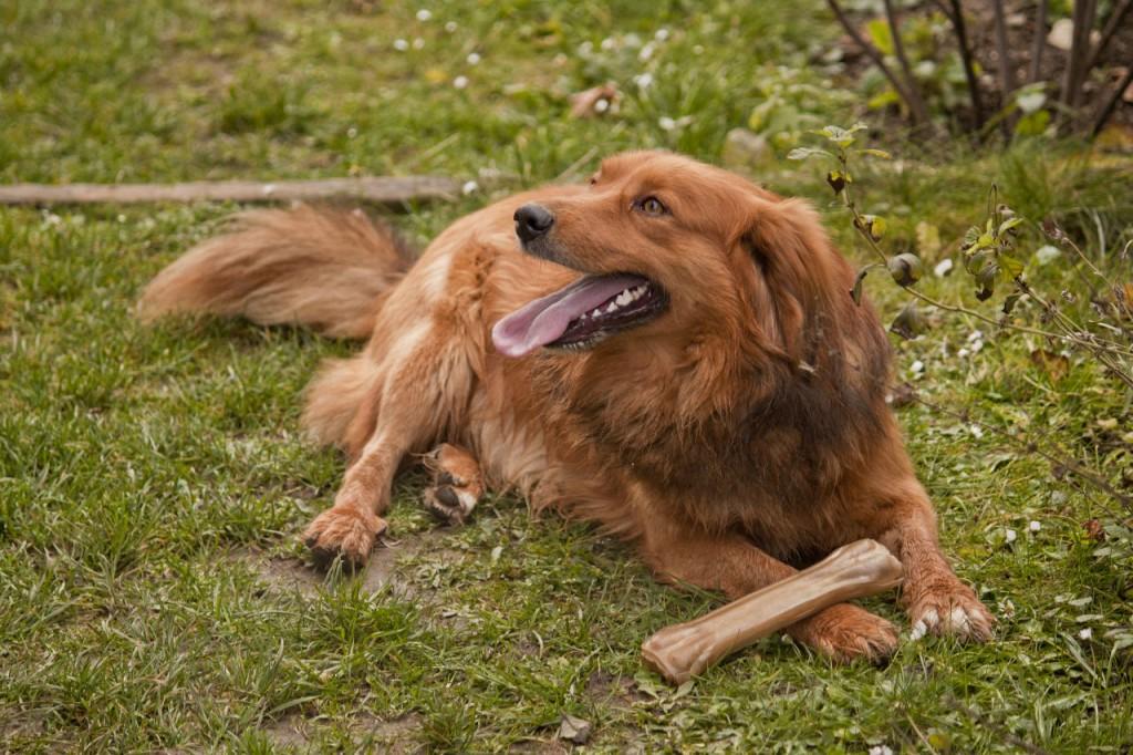 Lassie, un chien fidèle