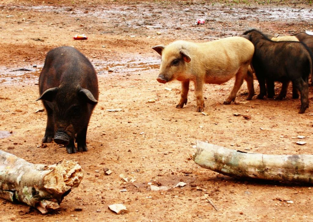 Babe, le cochon récompensé aux Oscars