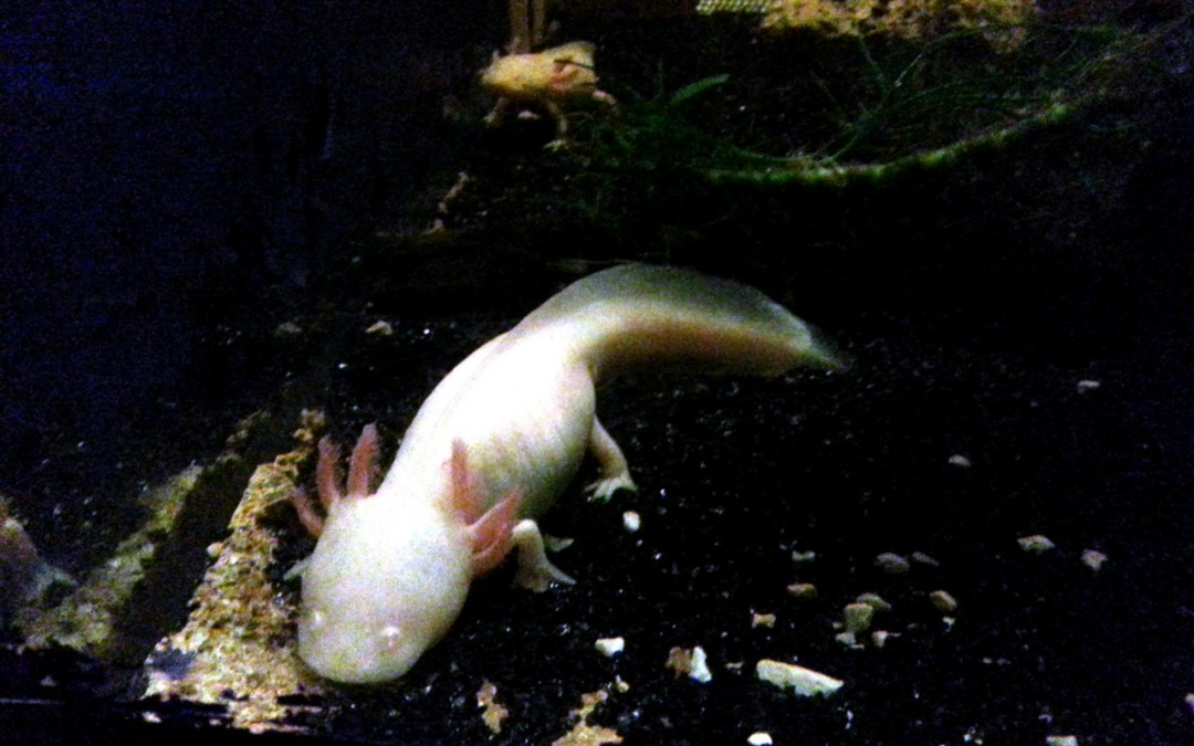L'Axolotl, un animal tout droit sorti d'un film de science-fiction