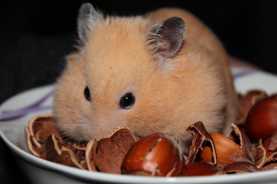 Tout sur le hamster et son hibernation