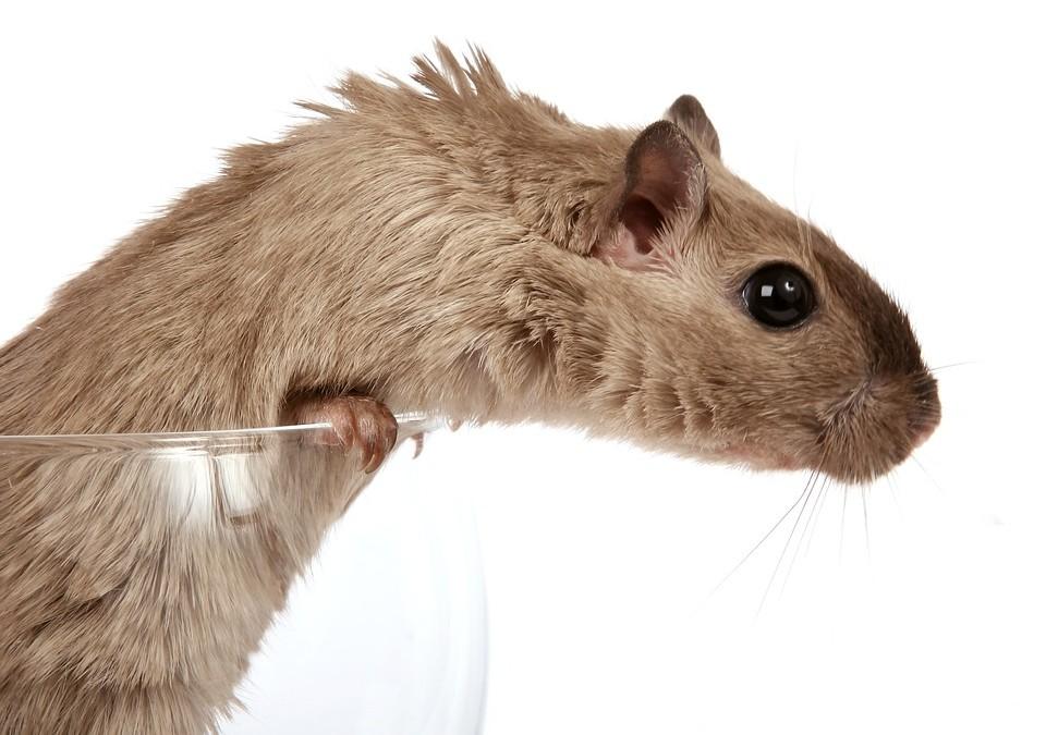 Rongeurs: sachez enfin nettoyer leur cage