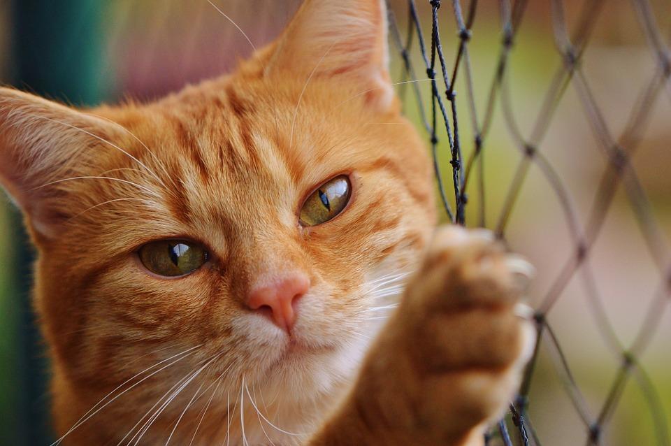 Castration du chat : que faut-il savoir?