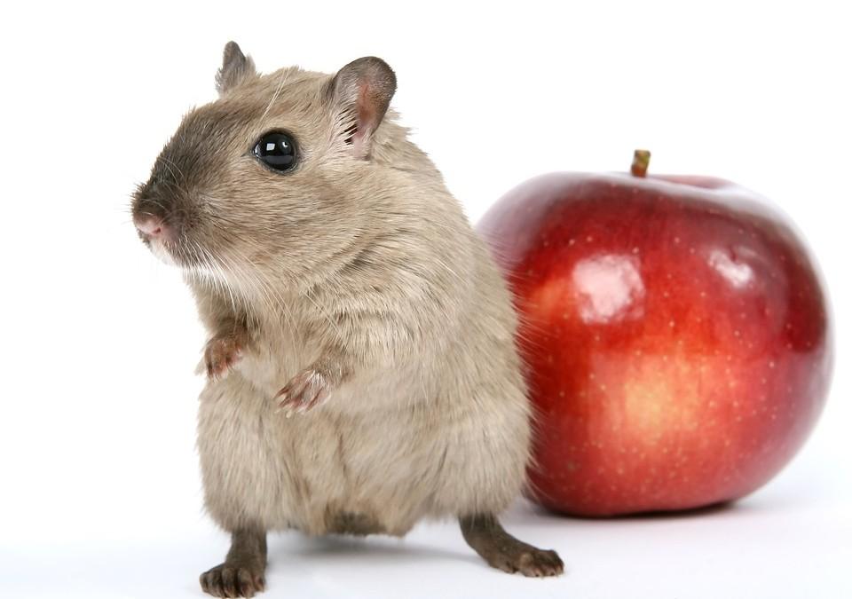 Comment prendre soin de vos petits hamsters?