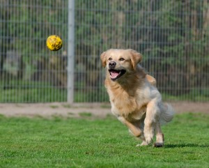 golden-retriever-750592_1280