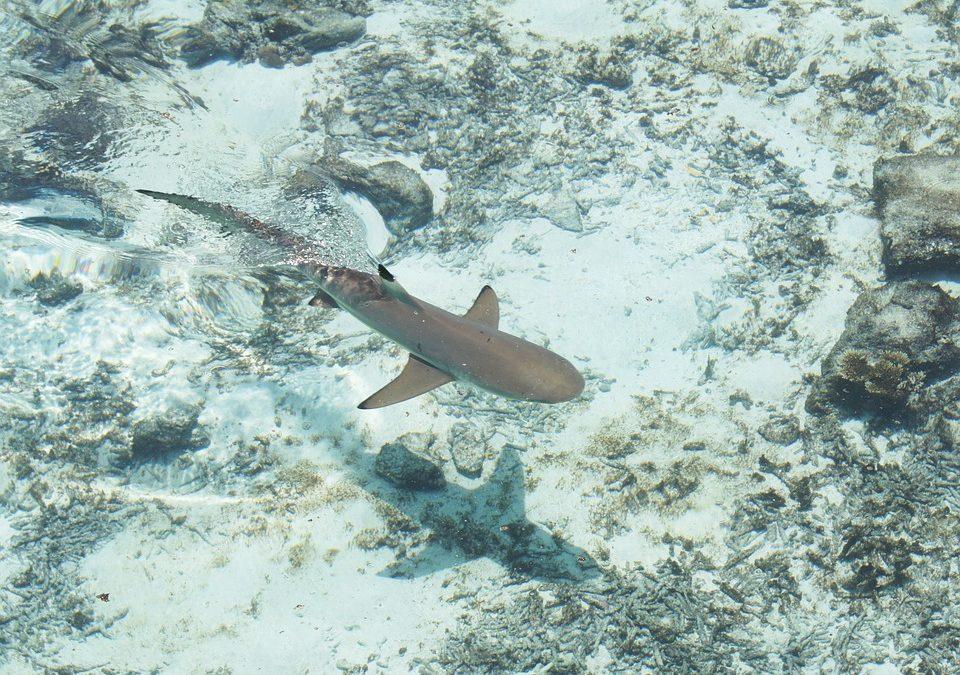 Zoom sur le requin